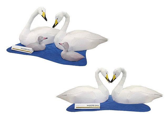 whooper-swan-1 -kit168.com