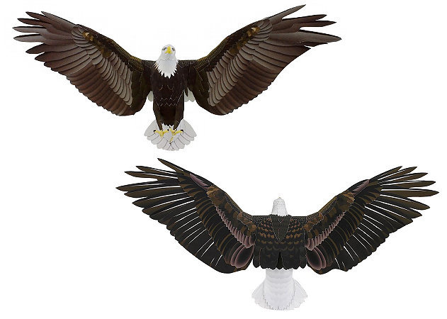 bald-eagle-1 -kit168.com