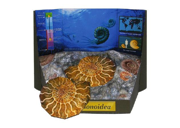 ammonite-fossil-1 -kit168.com