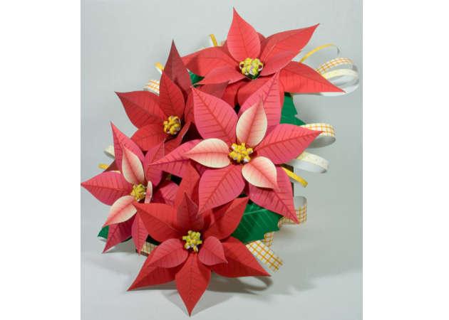 hoa-trang-nguyen-poinsettia-1-kit168.com